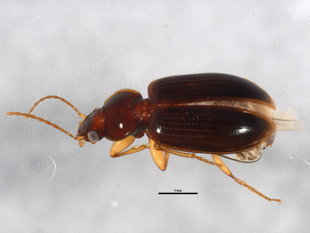 Image of Mecyclothorax