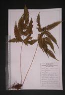 Image of brake fern