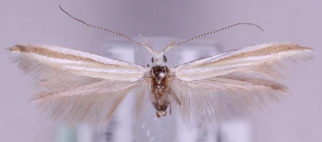 Image of <i>Coleophora ditella</i> Zeller 1849