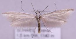 Image of <i>Coleophora rectilineella</i> Fischer von Röslerstamm 1843