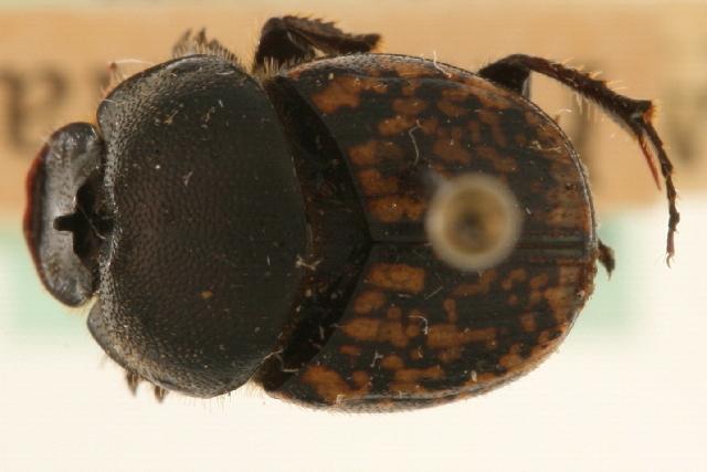 Image of <i>Onthophagus</i> (<i>Palaeonthophagus</i>) <i>nuchicornis</i> (Linnaeus 1758)