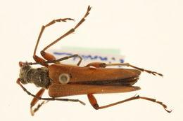 Image of <i>Stenocorus meridianus</i> (Linne 1758)