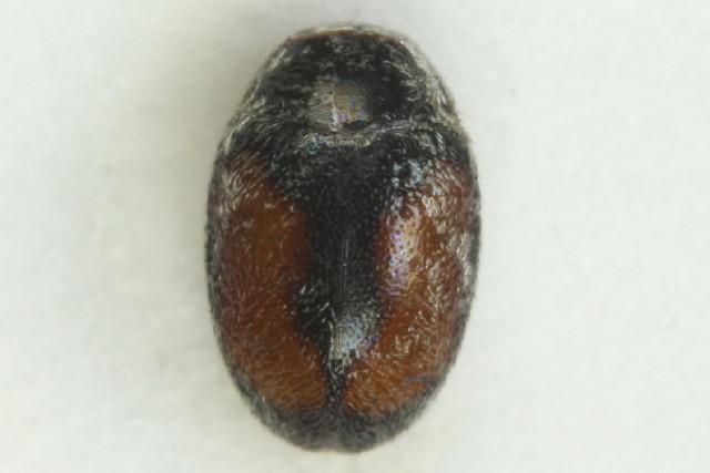 Image of <i>Nephus redtenbacheri</i> (Mulsant 1846) Mulsant 1846