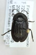 Image of <i>Phosphuga atrata</i>