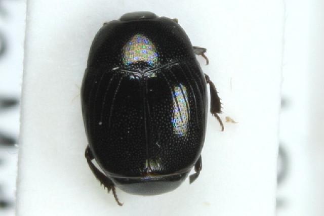 Image of <i>Gnathoncus nannetensis</i> (Marseul 1862)
