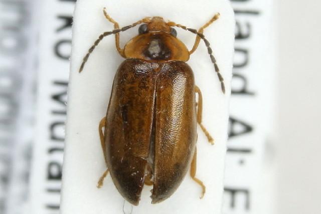 Image of <i>Microcara testacea</i> (Linnaeus 1767) Linnaeus 1767