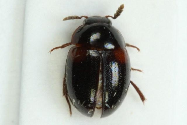 Image of <i>Anisotoma axillaris</i> Gyllenhal 1810
