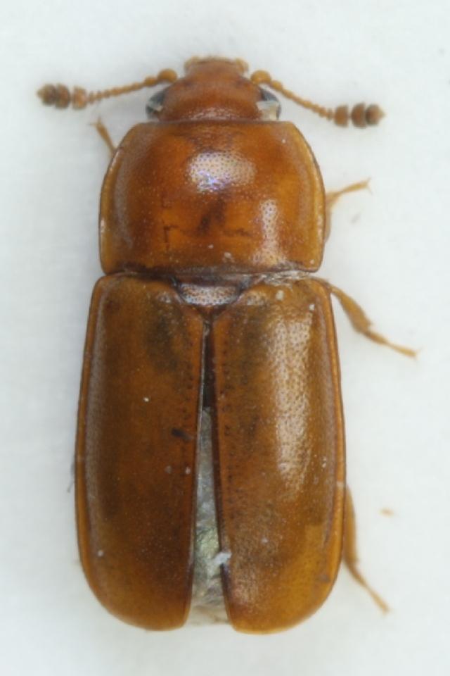 Image of <i>Epuraea laeviuscula</i> (Gyllenhal 1827) Gyllenhal 1827