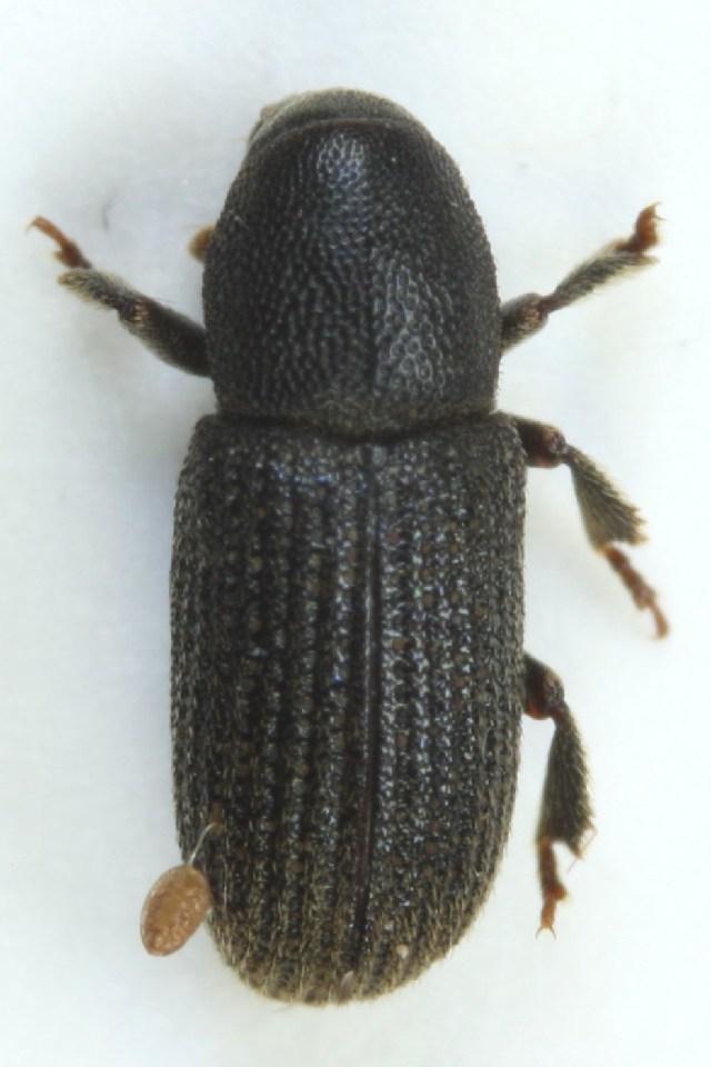 Image of <i>Hylastes cunicularius</i> Erichson 1836