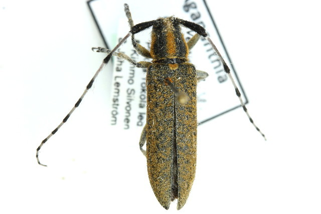 Image of <i>Agapanthia</i> (<i>Epoptes</i>) <i>villosoviridescens</i> (Degeer 1775)