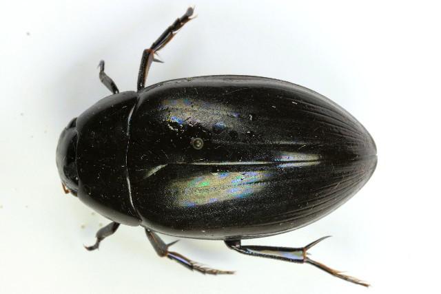 Image of <i><i>Hydrophilus</i></i> (Hydrophilus) <i>aterrimus</i> Eschscholtz 1822