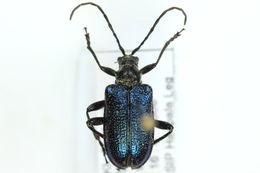 Image of <i>Gaurotes</i> (<i>Carilia</i>) <i>virginea</i> (Linne 1758)