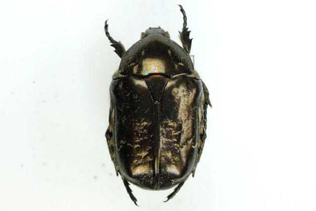 Image of <i>Protaetia</i> (<i>Liocola</i>) <i>marmorata</i> (Fabricius 1792)