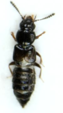 Image of <i>Platystethus arenarius</i> (Geoffroy 1785)