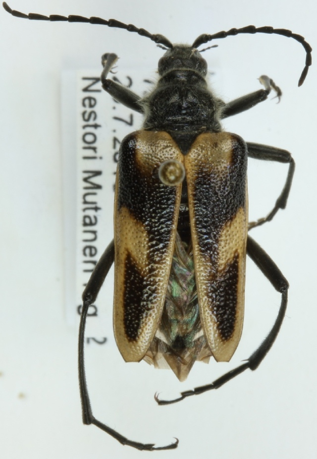 Image of <i>Pachyta lamed</i> (Linne 1758)