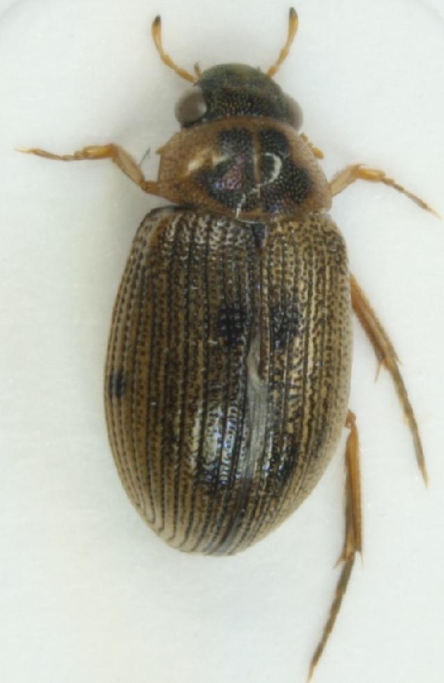 Image of <i><i>Berosus</i></i> (Berosus) <i>luridus</i> (Linnaeus 1760)