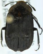 Image of <i>Thanatophilus dispar</i> (Herbst 1793)