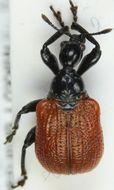 Image of <i>Apoderus coryli</i>
