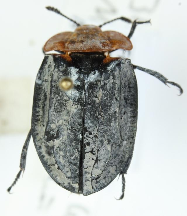 Image of <i>Oiceoptoma thoracicum</i> (Linnaeus 1758)