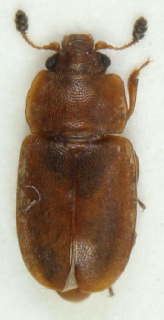 Image of <i>Epuraea opalizans</i> J. Sahlberg 1889