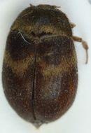 Image of <i>Attagenus woodroffei</i> Halstead & Green 1979