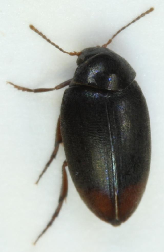 Image of <i>Eucinetus haemorrhoidalis</i> (Germar 1818) Germar 1818