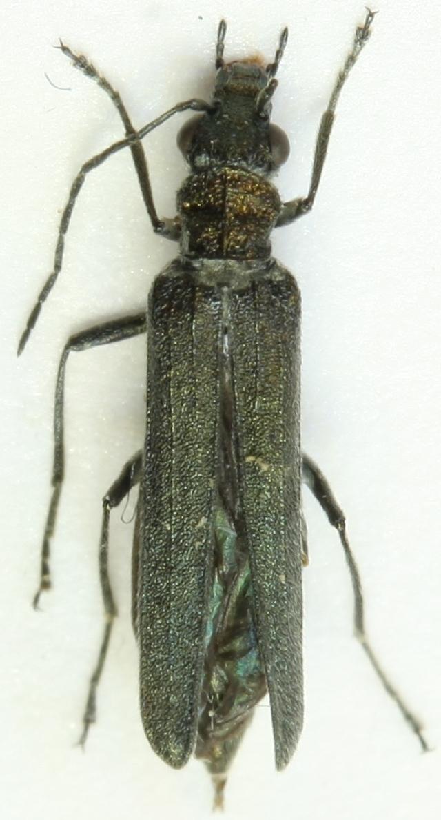 Image of <i>Oedemera subrobusta</i>