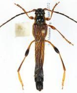 Image of <i>Necydalis major</i> Linne 1758