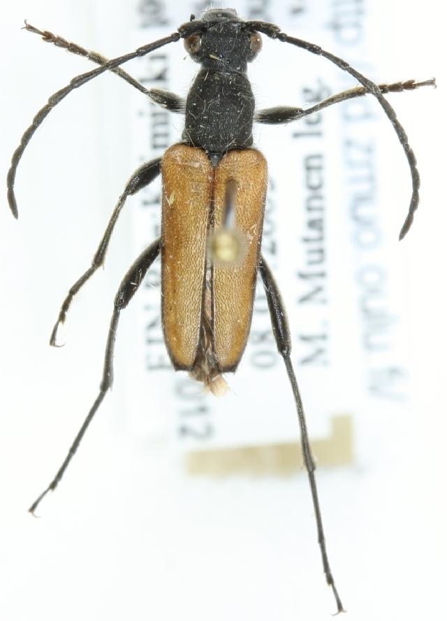 Image of <i>Anastrangalia reyi</i> (Heyden 1889)