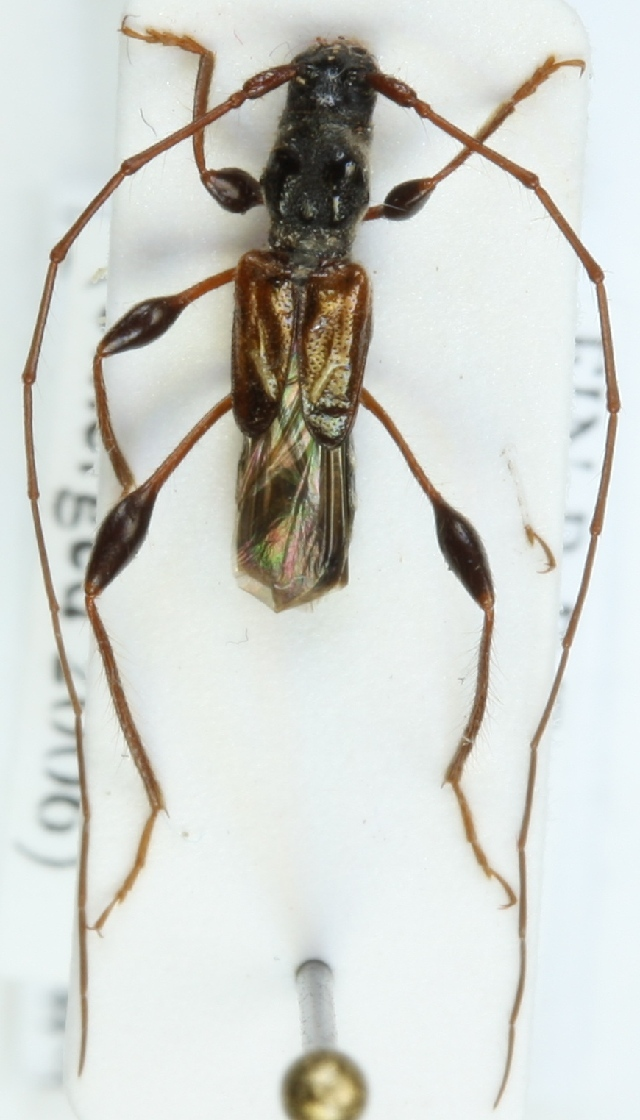 Image of Spruce Shortwing Beetle