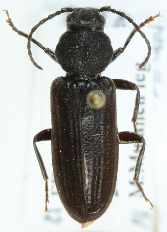 Image of Black Spruce Borer