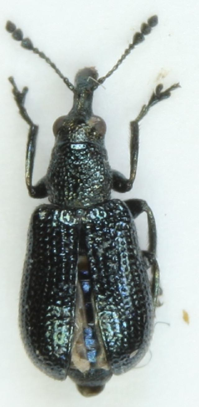Image of <i>Temnocerus nanus</i> (Paykull & G.)