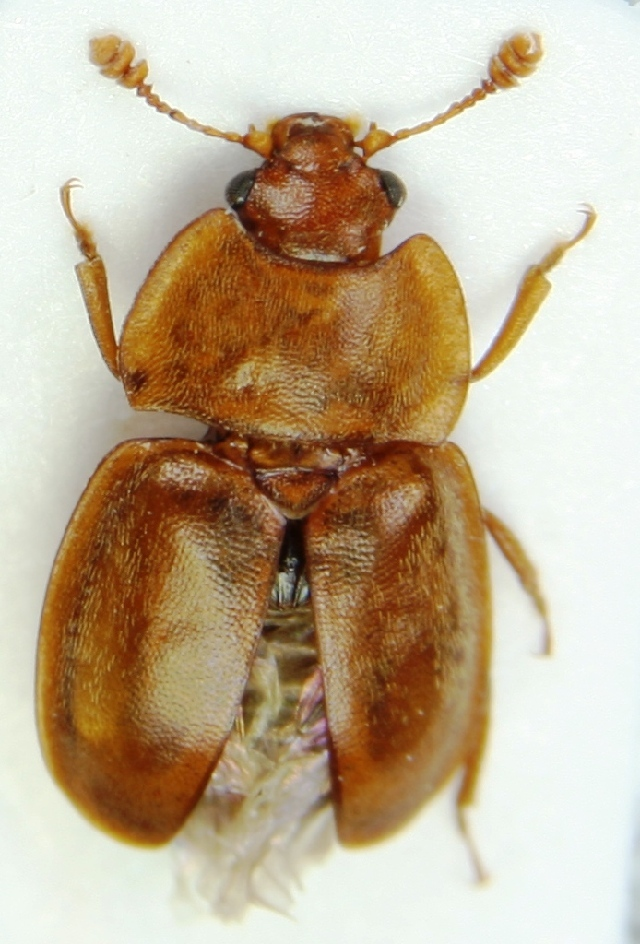 Image of <i>Epuraea silacea</i> (Herbst 1784) Herbst 1784