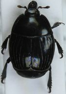 Image of <i>Margarinotus</i> (<i>Ptomister</i>) <i>striola</i> (C. R. Sahlberg 1819)