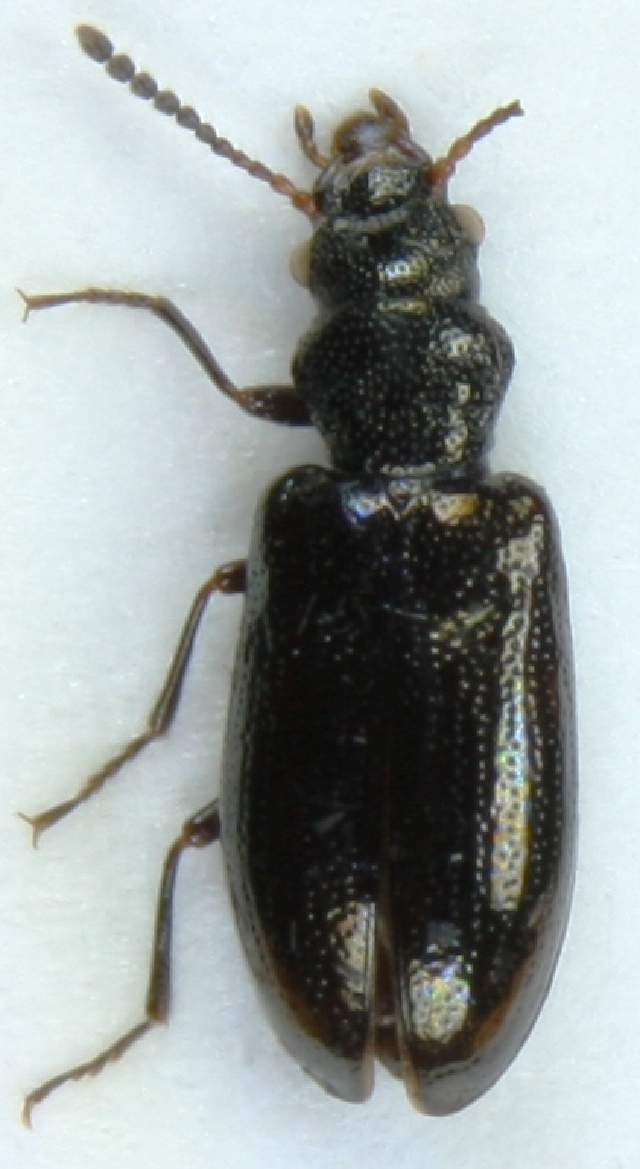 Image of <i>Rabocerus foveolatus</i> (Ljungh 1823)