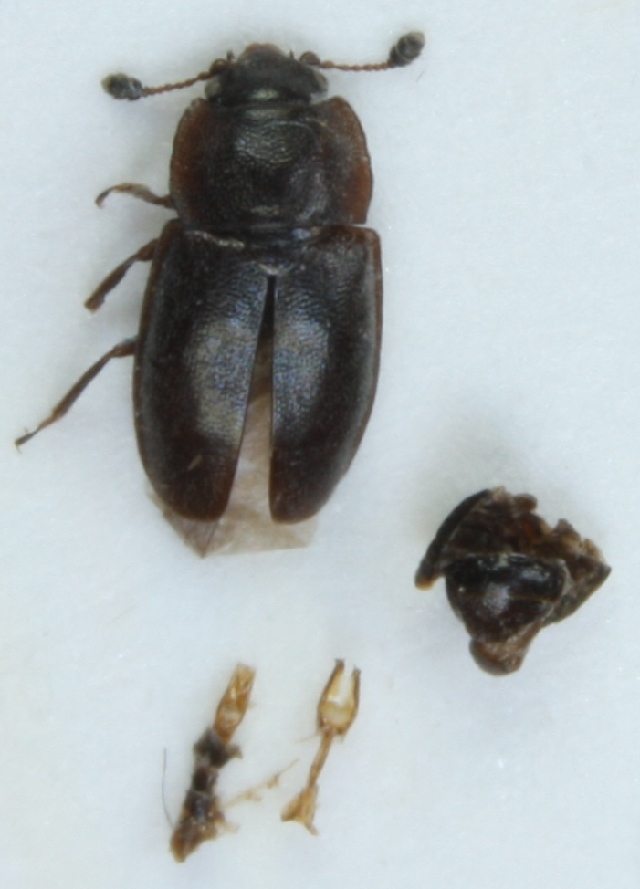 Image of <i>Epuraea boreella</i> (Zetterstedt 1828)