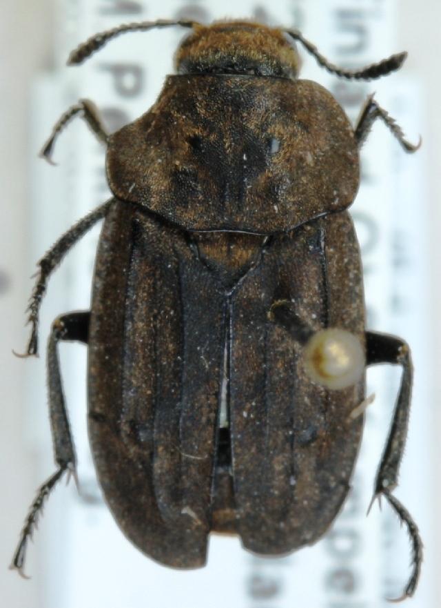 Image of <i>Aclypea opaca</i> (Linnaeus 1758)