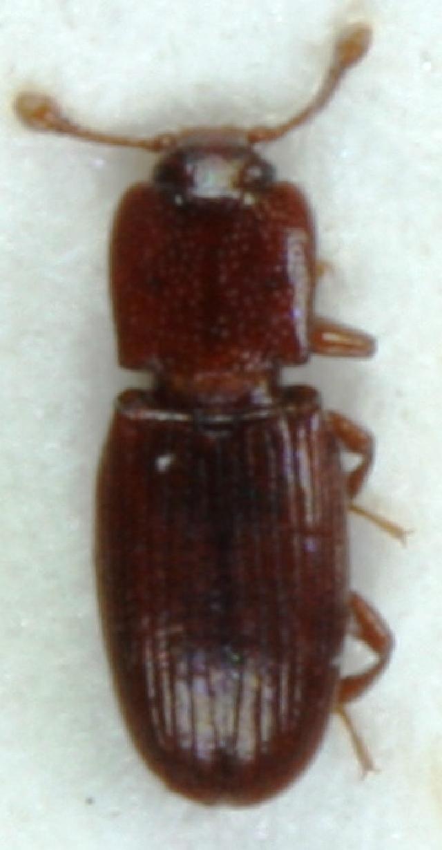 Image of <i>Cerylon deplanatum</i> Gyllenhal 1827