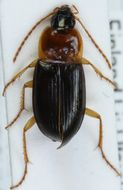 Image of <i>Calathus</i> (<i>Neocalathus</i>) <i>melanocephalus</i> (Linnaeus 1758)