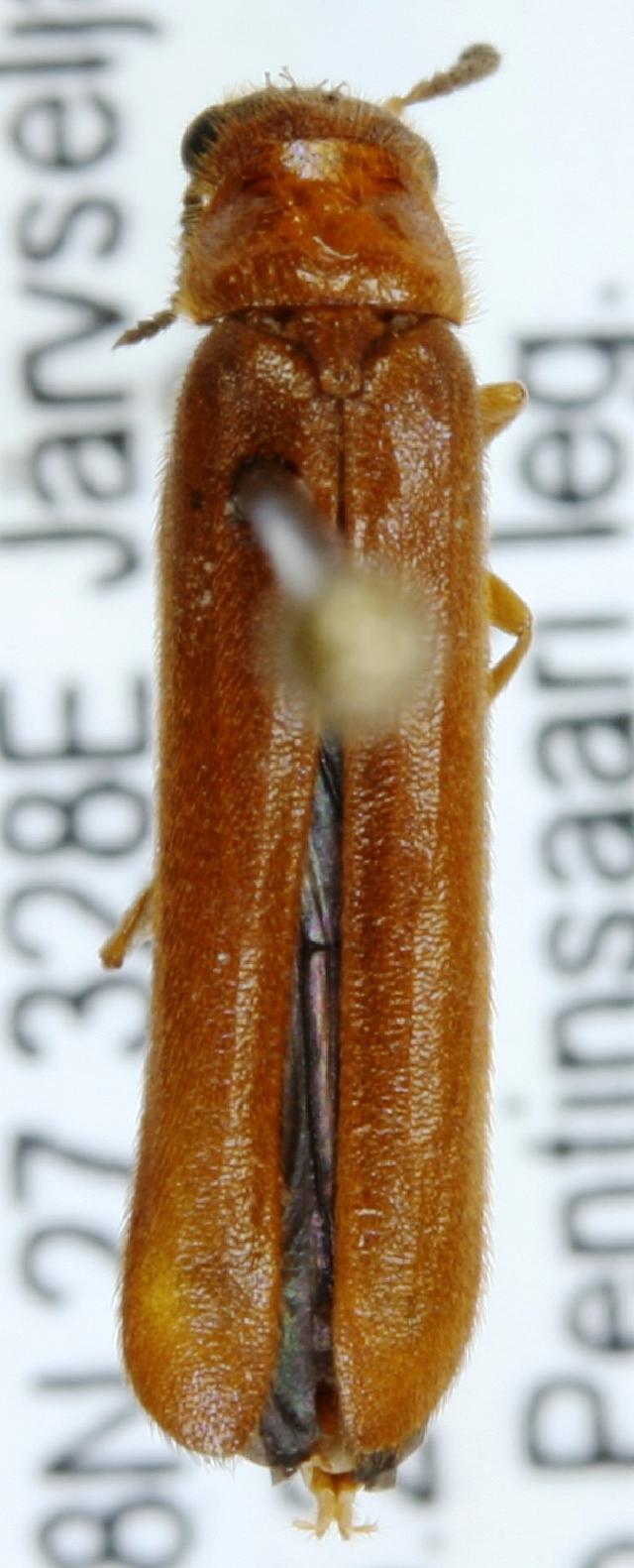Image of <i>Elateroides dermestoides</i> (Linnaeus 1761)