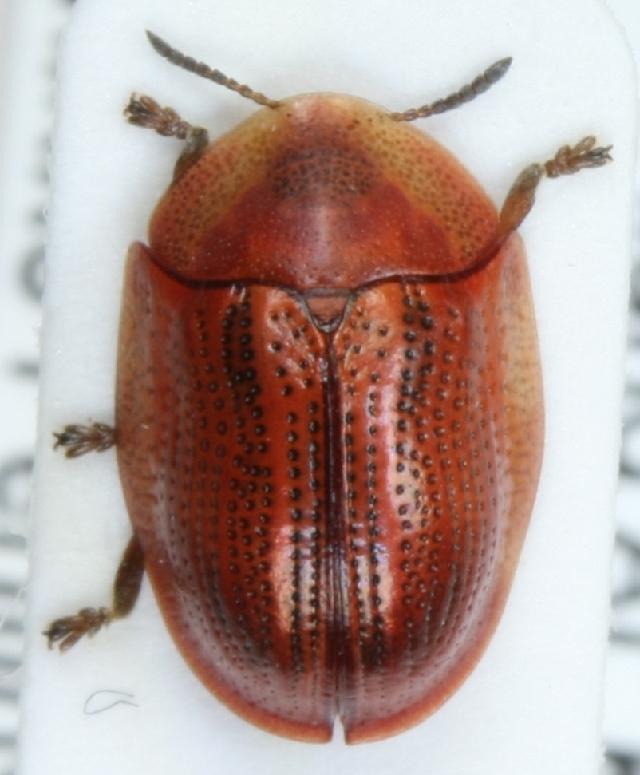 Image of <i>Cassida</i> (<i>Cassidulella</i>) <i>nobilis</i> Linnaeus 1758