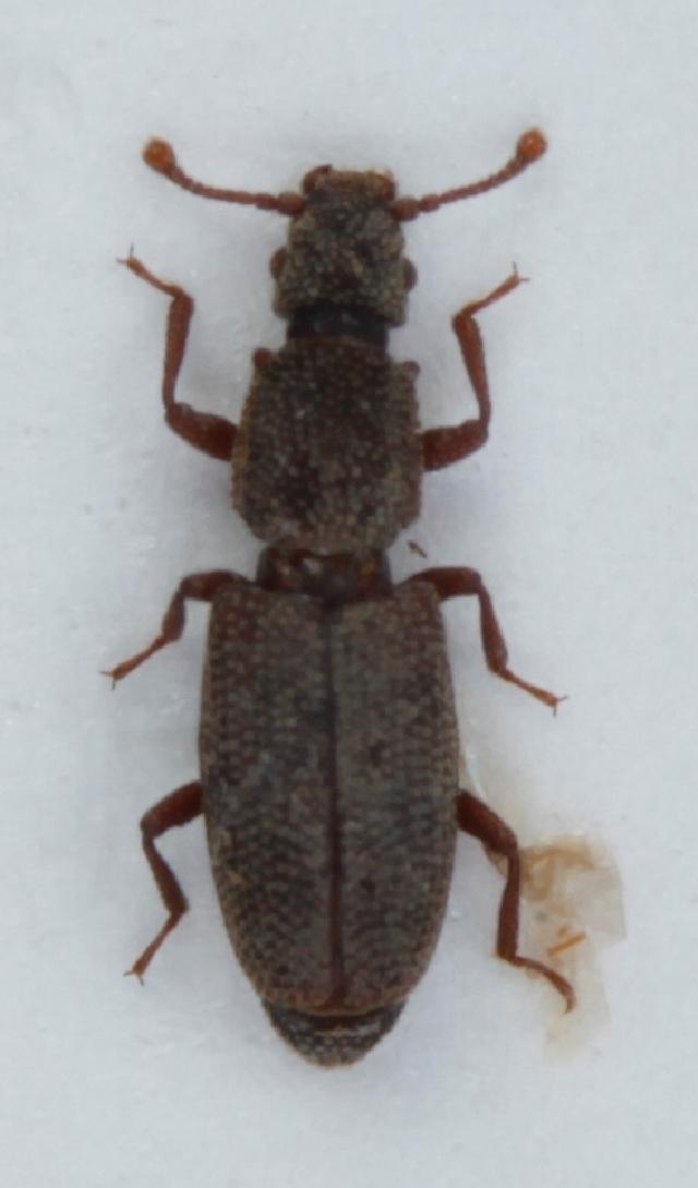 Image of <i>Monotoma angusticollis</i> (Gyllenhal 1827) Gyllenhal 1827