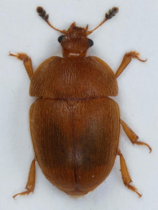 Image of <i>Cychramus luteus</i> (Fabricius 1787) Fabricius 1787