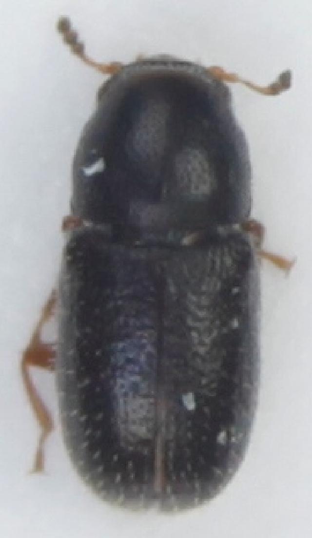 Image of <i>Sulcacis nitidus</i> (Fabricius 1792)