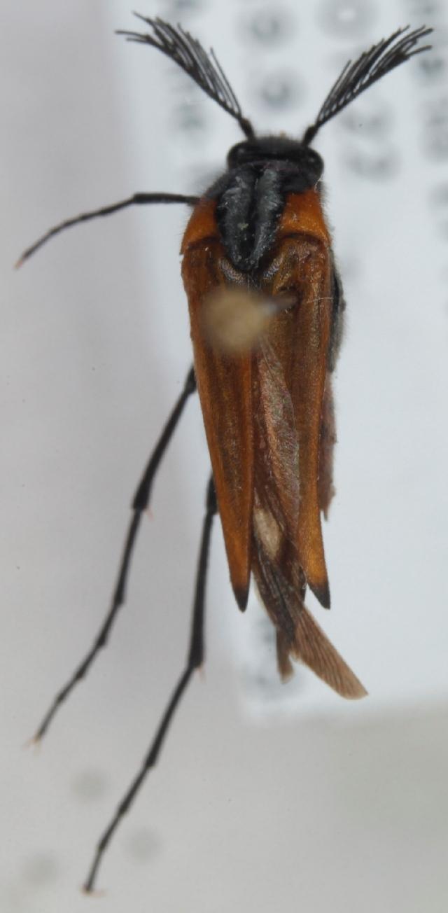 Image of <i>Metoecus paradoxus</i> (Linnaeus 1761) Linnaeus 1761