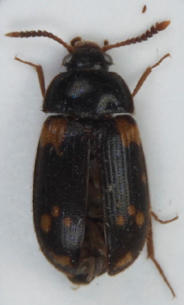 Image of <i>Mycetophagus decempunctatus</i> Fabricius 1801