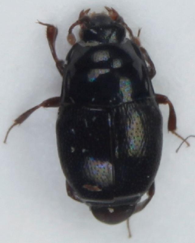 Image of <i><i>Plegaderus</i></i> (Plegaderus) <i>vulneratus</i> (Panzer 1797)