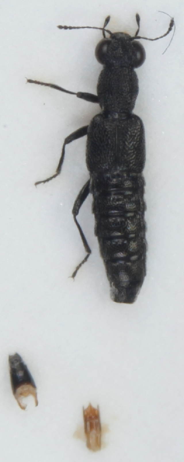 Image of <i><i>Stenus</i></i> (Stenus) <i>melanarius</i> Stephens 1833