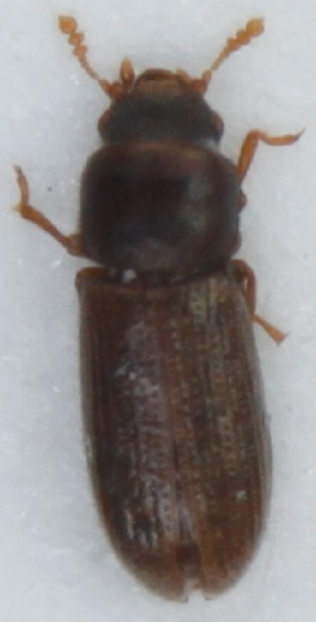 Image of <i>Hadraule elongatula</i> (Gyllenhal 1827)