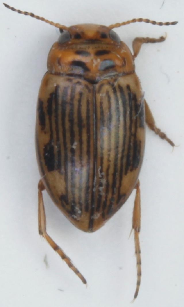 Image of <i>Oreodytes septentrionalis</i> (Gyllenhal 1826)